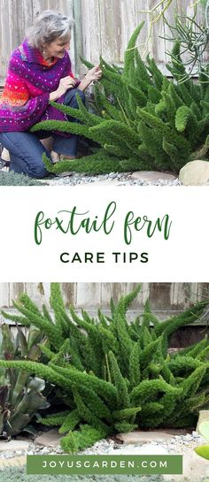 I've loved these tough yet attractive ferns ever since I saw a small 1 in a hanging pot in a greenhouse at the Brooklyn Botanic Garden many, many moons ago. Despite the confusing fact that this evergr Foxtail Fern, Staghorn Fern, Hanging Ferns, Hanging Pots, Asparagus Fern, Easy Care Plants, Plant Care, Succulents In Containers, Container Plants