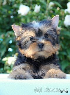 Yorkshire terrier , York - 1 Biewer Yorkie, Yorkshire Terrier, Dogs, Animals, Animales, Animaux, Teacup Yorkie, Doggies, Animais