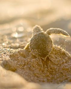 Green Sea Turtle Hatchling, Florida. Picture Yourself in Paradise at www.floridanest.com