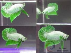 a very rare lime green white betta forgot the kind it is