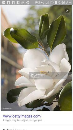 Magnolia Tattoo, Plant Leaves, Succulents, Flowers, Plants, Florals, Succulent Plants, Planters, Flower