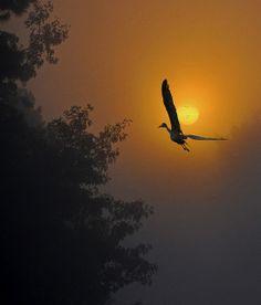 Sunrise Silhouette - Sandhill Crane