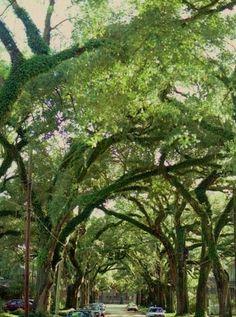 195.............MOBILE Alabama live oaks