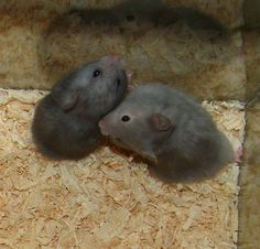 Blue lh (left) (aadd - ll) and Blue Sable lh (right (ddeeU_ - ll) hamsters