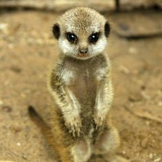 The Meerkat exhibit at the Edinburgh Zoo is abuzz with the pitter patter of tiny feet.