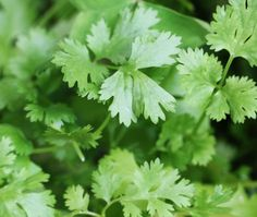 Cilantro: Cilantro is a beauty food that helps to remove heavy metals from your system that enlarge fat cells. These toxins can increase the appearance of cellulite on your body.  Cilantro has cleansing properties and can be easily incorporated into your diet every morning – Snyder adds cilantro to her green smoothie for breakfast.