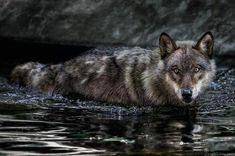 Swimming Wolf - photo by Manuela Kulpa.