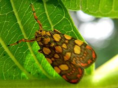 Lithosiinid Tigermoth (Lyclene reticulata)