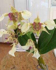 Dendrobium Little Pam