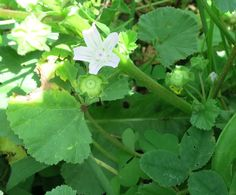 Ignoring Common Mallow would would be futile