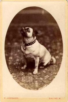 vintage pug