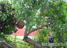 Omenapuu muuttuu puutarhan satupuuksi koristeilla ja kärhöillä. www.kotipuutarha.fi