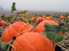 PUMPKIN PATCH Photo:  This Photo was uploaded by kat1154. Find other PUMPKIN PATCH pictures and photos or upload your own with Photobucket free image and...