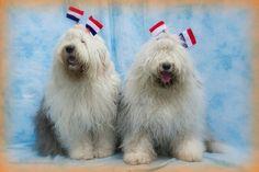 old english sheepdogs at koninginnedag photo by Cees Bol