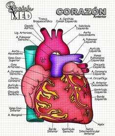 Cardiac Anatomy, Medical Anatomy, Nursing Student Tips, Med Student, Human Body Anatomy, Human Anatomy And Physiology, Medicine Quotes, Medical Laboratory Science, Medical Help