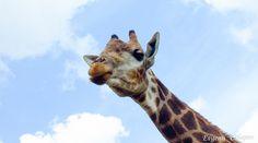 Это фотография была сделана совершенно случайно в зоопарке.Я хотел сфотографировать этих красивых и величественных животных но мешал забор вольера. Я отчаялся и хотел уже уходить как вдруг надо мной появилась тень.Я поднял голову и увидел что на меня смотрит красивая мордашка жирафа :) И я успел :)