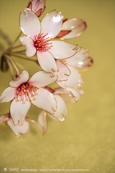 前作【枝垂れ吉野】より小振りな、ショートカットにもお使いいただける桜簪をお作りしました。PhotobyRYOUKANABE左耳の上に挿すとこんな感じです。...