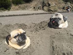 Los Pugs sembrados