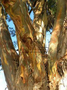 california eucalyptus tree pictures   Eucalyptus Tree by Photo Stock Source - tree, Fort Ross, California ...