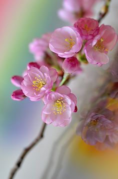 Prunus mume is an Asian tree species. Its common names include Chinese plum and Japanese apricot. Prunus Mume, Pink Blossom, Almond Blossom, Ikebana, Spring Flowers, Spring Blooms, Trees To Plant, Beautiful Gardens, Planting Flowers