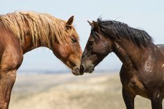 Two mustang stallions greet each other. Taken near Green River, Wyoming on the White Mountain Wild Horse Management Area. Entry in Share the Experience   Bureau of Land Management