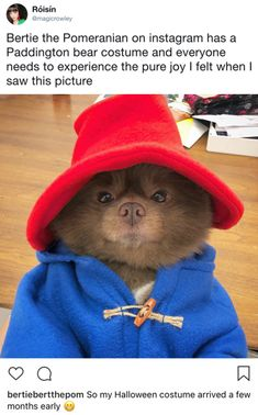 Funny Dogs Pomeranian dog dressed as Paddington Bear Cute Funny Animals, Funny Animal Pictures, Cute Baby Animals, Funny Cute, Animals And Pets, Cute Puppies, Cute Dogs, Cute Babies, Funny Dogs