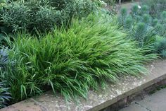 This small ornamental grass - Hakonechloa macra will add a 'Japanese' air to your patio