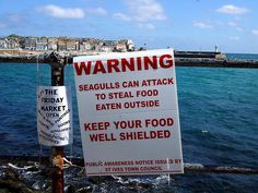 Warning - seagulls can attack . . . St Ives (reminds me of The Birds)