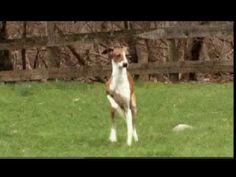 Dogs 101: Italian Greyhound