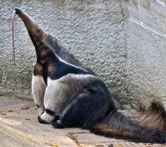 A Giant Anteater (Myrmecophaga tridactyla) at Detroit Zoo, Michigan, USA, shows off his impressive termite capturing tongue. Cute Creatures, Beautiful Creatures, Animals Beautiful, Interesting Animals, Unusual Animals, Armadillo, Ugly Animals, Cute Animals, Giant Anteater