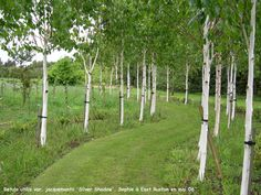 whitebarked Himalayan birch