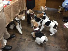 Wire's a Plenty at a Fox Terrier Holiday celebration!