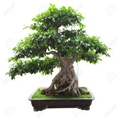 17 best banyan tree images on pinterest bonsai bonsai trees and chinese banyan makes a beautiful bonsai tree with its massive limbs supported by prop roots as it grows banyan produces aerial roots that hang down fandeluxe Choice Image