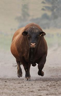6 new Pins for your Cattle from around the world board