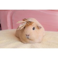 …and a total pro when it comes to bows. | The Newest Adorable Animal On Instagram Is A Guinea Pig Named Booboo