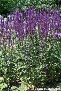 Suomenkielinen nimi: Loistosalvia ´Caradonna´ Tieteellinen nimi: Salvia x sylvestris ´Caradonna´ Korkeus: 60 cm Kasvutapa: Pitkään kukkiva, mätästävä perenna. Houkuttelee perhosia. Kukinta: Heinä-syyskuussa tummansinivioletit huulimaiset kukat pitkänä tähkänä. Kukinnon väri: Violetti Kasvupaikka: Aurinkoinen; ravinteikas, läpäisevä. Taimiväli: 30-40 cm Istutustiheys: 11 taimea/m2 Lisääminen: Lisätään syksyllä ja keväällä jakamalla sekä kesäkuun alkupuolella pistokkaista.