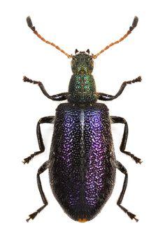 Lagridae gen sp.