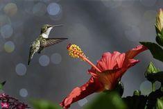 https://flic.kr/p/cmWduQ | Hummingbird and Hibiscus_RGB8094 | Ruby Throated Hummingbird flying near a Hibiscus flower.