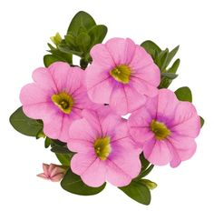 Calibrachoa Aloha Kona Soft Pink