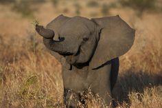 Elephant calf.