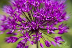 Week 17 - Flower http://www.pattondesignphotography.com