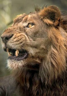 [Panthera leo] Lion, Adult - Portrait of an old Warrior Angry Animals, Animals And Pets, Cute Animals, Lion Pictures, Animal Pictures, Beautiful Cats, Animals Beautiful, Gato Grande, Photo Animaliere
