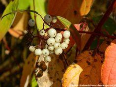Dereń biały - Cornus alba