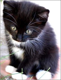 Cats And Kittens Black tuxedo cat cat breeds encyclopedia Source: website wallpaper maine coon cats cute kittens animals Source: websi. Cute Cats And Kittens, I Love Cats, Crazy Cats, Cool Cats, Kittens Cutest, Pretty Cats, Beautiful Cats, Grumpy Cat Quotes, Tuxedo Kitten