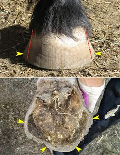 """The equine hoof is a complex marvel of natural engineering,"" say Susan Kauffmann and Christina Cline in The Essential Hoof Book. ""Developing an eye for symmetry and balance is definitely helpful in identifying hoof problems."" There are many faces of imbalance and asymmetry in the horse's hoof. Flares are just one example that every owner, Continued"
