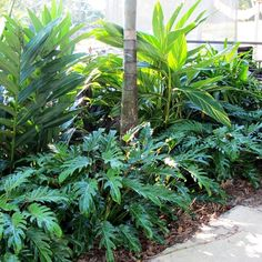 Easy To Grow Houseplants Clean the Air Philodendron Xanadu, Smaller Scale Than Elephant Ear One Front House Landscaping, Tropical Landscaping, Outdoor Landscaping, Landscaping Plants, Outdoor Gardens, Florida Landscaping, Tropical Backyard, Small Tropical Gardens, Tropical Plants