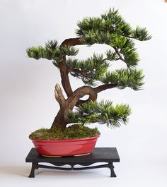 Hand-made bonsai tree zokei Pine. Bonsai, Pine, Dragon, Plants, Handmade, Murals, Pine Tree, Hand Made, Dragons