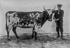 Cow glamour shots: Why Finnish cattle posed for pictures in 1899  http://mashable.com/2016/02/21/finnish-cow-portraits/#CiG1Evs_ukqk