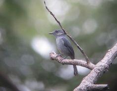 Myioparus griseigularis/Grey‐throated Tit‐Flycatcher/オジロハイイロヒタキ
