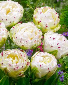 100 Pcs Fragrance Tulip Seeds,Tulip Agesneriana, Aromatic Flower Seeds Potted Plants Most Beautiful Tulip Plants Bulb Flowers, Tulips Flowers, Daffodils, White Flowers, Roses, Tulip Seeds, Flower Seeds, Garden Trees, Garden Plants